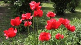 Λουλούδια παπαρουνών φιλμ μικρού μήκους