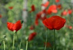 Λουλούδια παπαρουνών Στοκ εικόνες με δικαίωμα ελεύθερης χρήσης