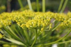 Λουλούδια παστινακών Στοκ Εικόνα