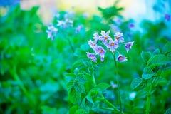 Λουλούδια πατατών Στοκ Εικόνα