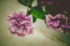 Λουλούδια πετουνιών στο εκλεκτής ποιότητας ύφος Στοκ Εικόνες