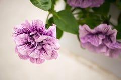 Λουλούδια πετουνιών στο εκλεκτής ποιότητας ύφος Στοκ εικόνα με δικαίωμα ελεύθερης χρήσης