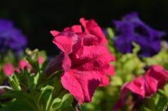 Λουλούδια πετουνιών Στοκ φωτογραφία με δικαίωμα ελεύθερης χρήσης