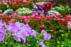 Λουλούδια πετουνιών Στοκ Φωτογραφία