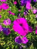 Λουλούδια πετουνιών Στοκ Φωτογραφίες