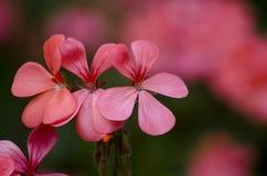 Λουλούδια πελαργονίων στοκ εικόνα