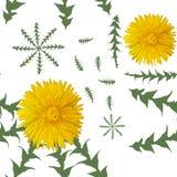 Λουλούδια πικραλίδων με τα πράσινα φύλλα σε ένα άσπρο υπόβαθρο άνευ ραφής διάνυσμα προτύπ&omeg Στοκ φωτογραφία με δικαίωμα ελεύθερης χρήσης