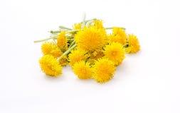 Λουλούδια πικραλίδων σε ένα άσπρο υπόβαθρο Στοκ Εικόνες