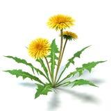 Λουλούδια πικραλίδων Στοκ Εικόνα
