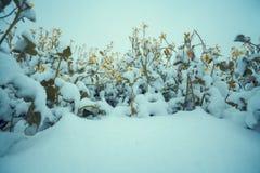 Λουλούδια που καλύπτονται με το πρώτο χιόνι Στοκ εικόνες με δικαίωμα ελεύθερης χρήσης