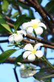Λουλούδια πράσινων εγκαταστάσεων και plumeria Στοκ Εικόνες