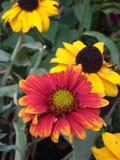 Λουλούδια πτώσης στις ανθίσεις Στοκ εικόνα με δικαίωμα ελεύθερης χρήσης