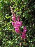 Λουλούδια δράκων, antirrhinum Στοκ εικόνα με δικαίωμα ελεύθερης χρήσης