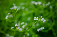 Λουλούδια ραδικιών Στοκ Εικόνα