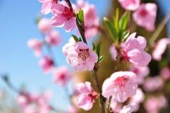 Λουλούδια ροδάκινων Στοκ εικόνες με δικαίωμα ελεύθερης χρήσης