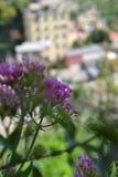 Λουλούδια σε Riomaggiore, Ιταλία Στοκ εικόνες με δικαίωμα ελεύθερης χρήσης