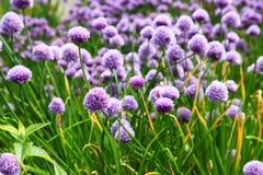 Λουλούδια σκόρδου Στοκ φωτογραφία με δικαίωμα ελεύθερης χρήσης
