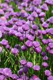 Λουλούδια σκόρδου Στοκ φωτογραφίες με δικαίωμα ελεύθερης χρήσης