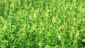 Λουλούδια σουσαμιού Στοκ εικόνα με δικαίωμα ελεύθερης χρήσης