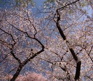 Λουλούδια στα δέντρα Στοκ Φωτογραφία