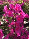 Λουλούδια στην Ιταλία στοκ εικόνες