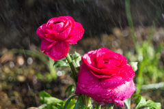 Λουλούδια στη βροχή Στοκ φωτογραφία με δικαίωμα ελεύθερης χρήσης