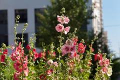 Λουλούδια στον κήπο, λουλούδια Hollyhock Στοκ φωτογραφία με δικαίωμα ελεύθερης χρήσης