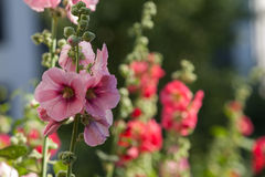 Λουλούδια στον κήπο, λουλούδια Hollyhock Στοκ Εικόνα