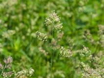 Λουλούδια στον κόκκορα ` s-foot ή κινηματογράφηση σε πρώτο πλάνο glomerata Dactylis χλόης γατών με το πράσινο υπόβαθρο bokeh, εκλ Στοκ φωτογραφίες με δικαίωμα ελεύθερης χρήσης
