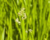 Λουλούδια στον κόκκορα ` s-foot ή χλόη γατών, glomerata Dactylis, κινηματογράφηση σε πρώτο πλάνο με το πράσινο υπόβαθρο bokeh, εκ Στοκ Εικόνες