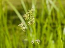 Λουλούδια στον κόκκορα ` s-foot ή χλόη γατών, glomerata Dactylis, κινηματογράφηση σε πρώτο πλάνο με το πράσινο υπόβαθρο bokeh, εκ Στοκ εικόνες με δικαίωμα ελεύθερης χρήσης