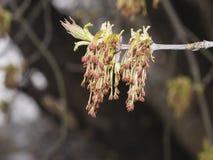 Λουλούδια στον τέφρα-με φύλλα σφένδαμνο κλάδων, negundo Acer, μακροεντολή με το υπόβαθρο bokeh, ρηχό DOF, εκλεκτική εστίαση Στοκ Εικόνα