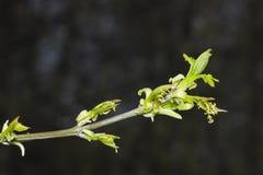Λουλούδια στον τέφρα-με φύλλα σφένδαμνο κλάδων, negundo Acer, μακροεντολή με το υπόβαθρο bokeh, ρηχό DOF, εκλεκτική εστίαση Στοκ Φωτογραφία