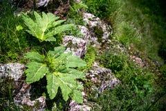 Λουλούδια στους βράχους Στοκ Εικόνες