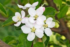 Λουλούδια στους κλάδους ενός δέντρου μηλιάς ανθίζοντας οπωρώνας Στοκ Εικόνες