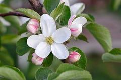 Λουλούδια στους κλάδους ενός δέντρου μηλιάς ανθίζοντας οπωρώνας Στοκ Φωτογραφία