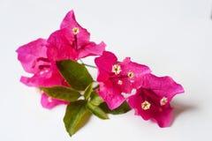 Λουλούδια στο ροζ χρώματος με το λευκό Στοκ Εικόνα