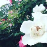 Λουλούδια στο συνεχές ρεύμα Στοκ Εικόνες