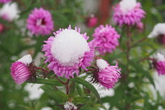 Λουλούδια στο χιόνι στοκ φωτογραφία με δικαίωμα ελεύθερης χρήσης