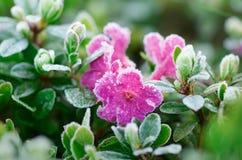 Λουλούδια στο hoarfrost Στοκ φωτογραφίες με δικαίωμα ελεύθερης χρήσης