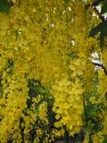Λουλούδια συριγγίων της Cassia Στοκ Φωτογραφίες