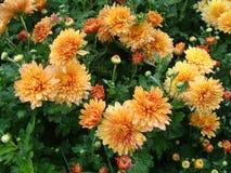 Λουλούδια σχεδόν του πορτοκαλιού χρυσάνθεμου μετά από τη βροχή Στοκ Εικόνες