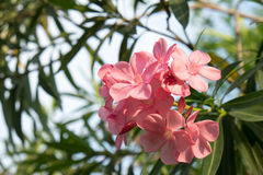 Λουλούδια Ταϊλάνδη Στοκ Εικόνες