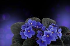 Λουλούδια της βιολέτας, σχέδιο Στοκ Φωτογραφία