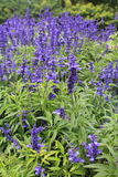 Λουλούδια της Βουδαπέστης Beautyful lavendel Στοκ εικόνες με δικαίωμα ελεύθερης χρήσης