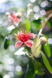 Λουλούδια της γκοϋάβας ανανά Στοκ φωτογραφία με δικαίωμα ελεύθερης χρήσης