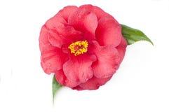 Λουλούδι της καμέλιας Στοκ εικόνα με δικαίωμα ελεύθερης χρήσης