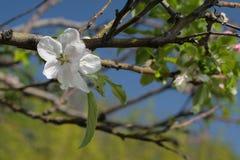 Λουλούδια της κινηματογράφησης σε πρώτο πλάνο μήλων Στοκ Εικόνες