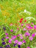 Λουλούδια της ρόδινης πετούνιας Στοκ εικόνα με δικαίωμα ελεύθερης χρήσης