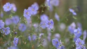 Λουλούδια της ταλάντευσης λιναριού στον αέρα απόθεμα βίντεο